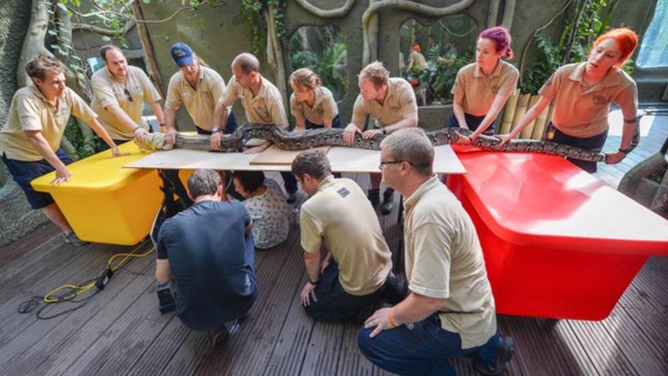Giant python gets a health check