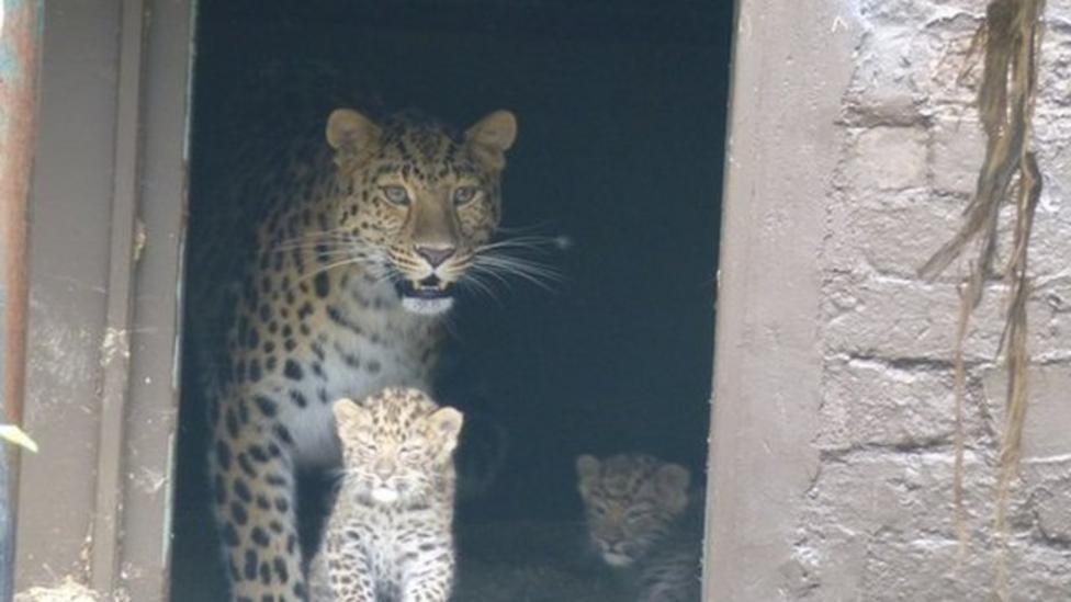 Two very rare leopard cubs born at zoo
