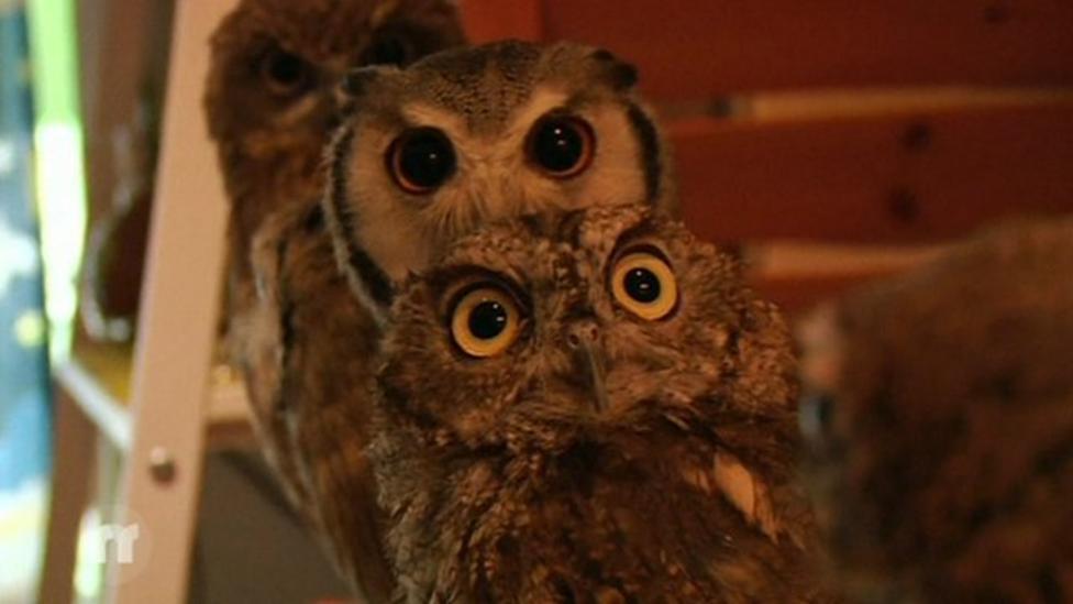 The owl café hangout in Japan