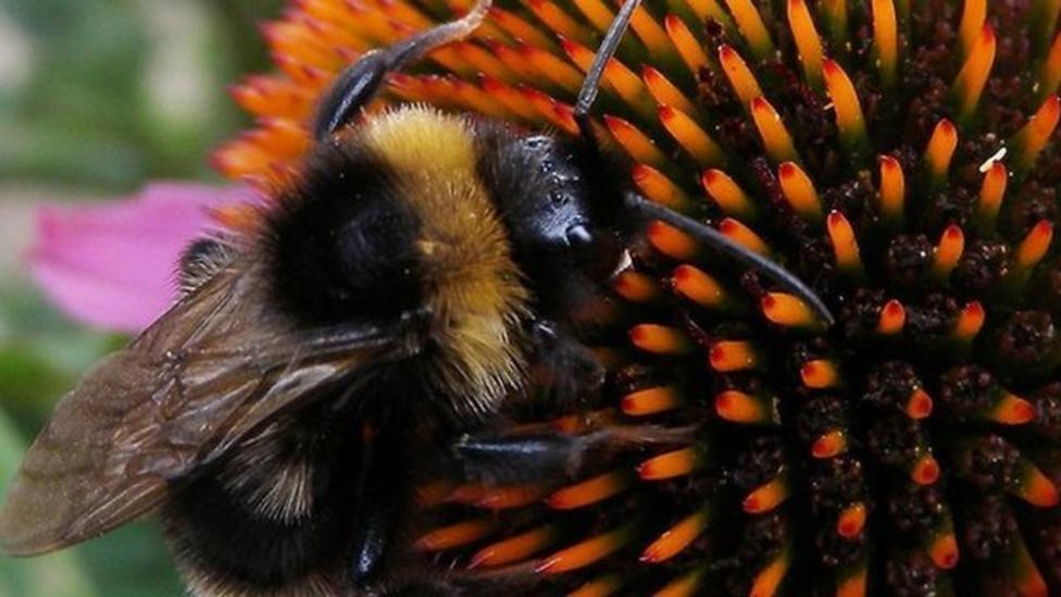 Schools join big bumblebee count