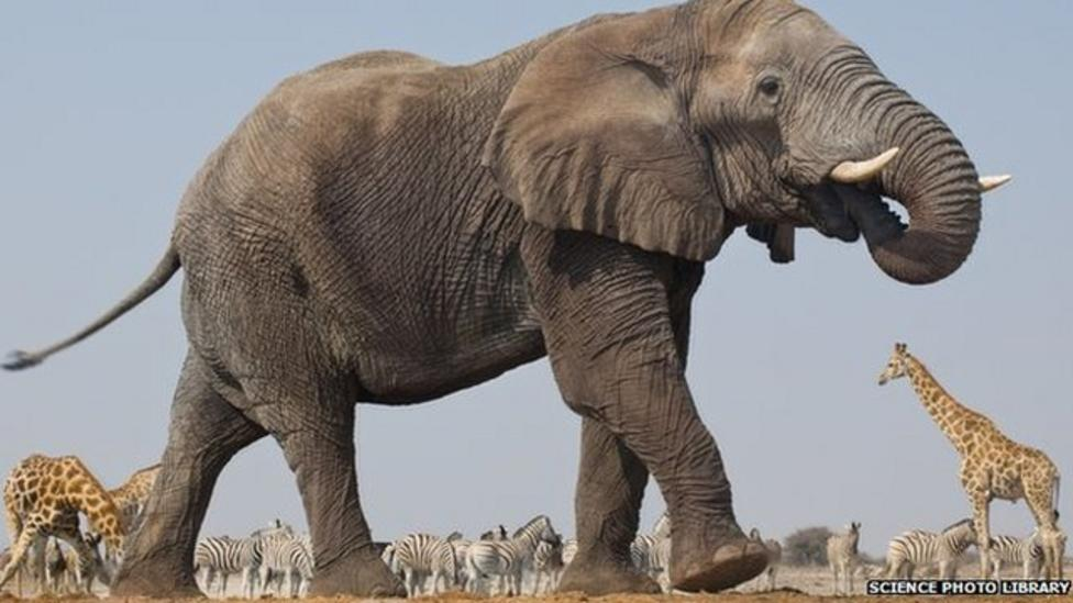 Africa's elephants 'could die out'