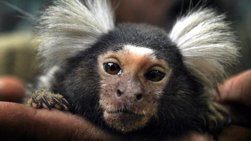 RSPCA wants primate pet ban