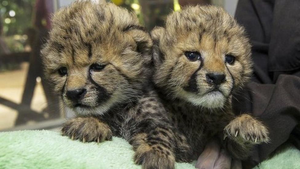 Cute baby cheetah cubs make zoo debut