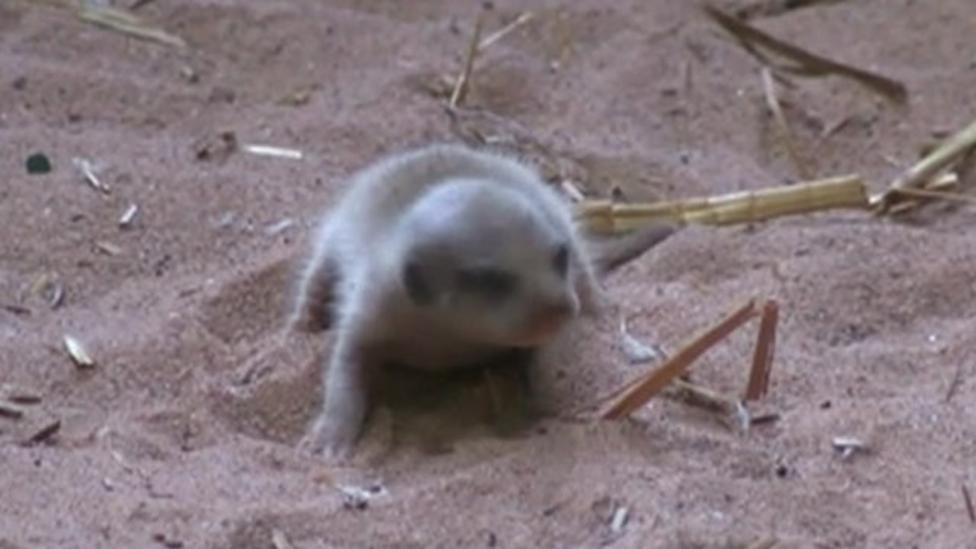 Keepers surprised by baby meerkat