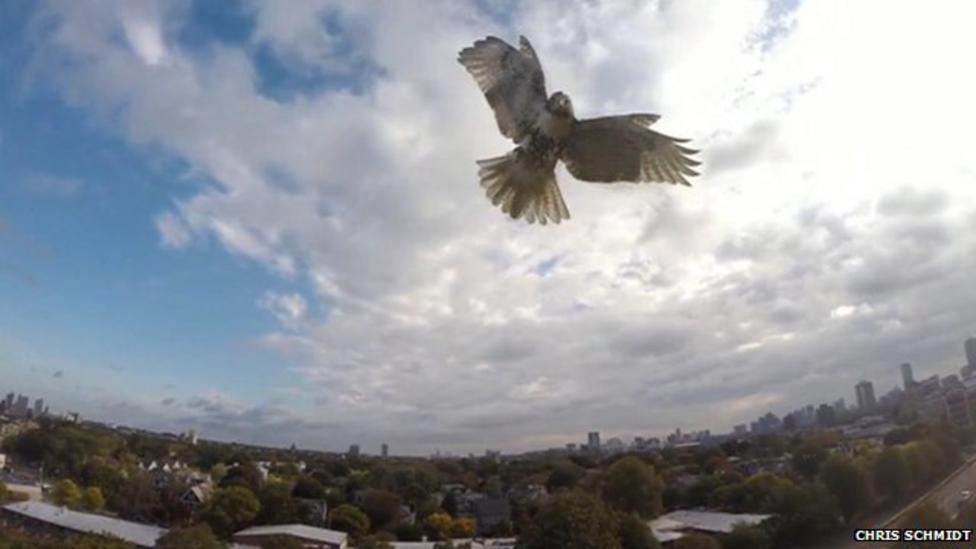Hawk attacks drone in the sky