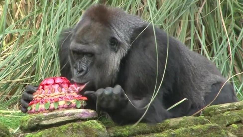 Gorilla gets 'Bake Off' birthday cake