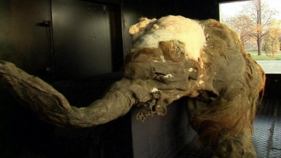 Watch: Baby Mammoth on display