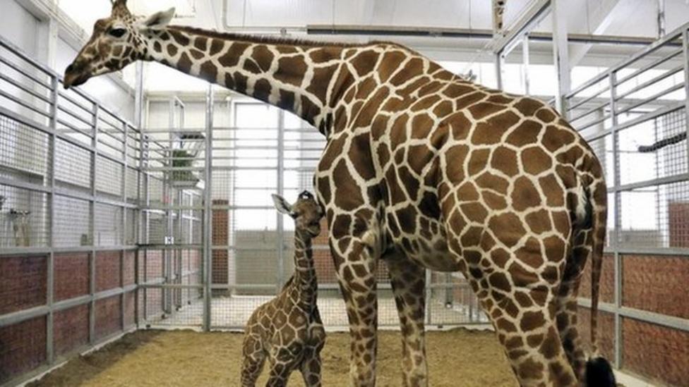 Baby giraffe born at zoo in America