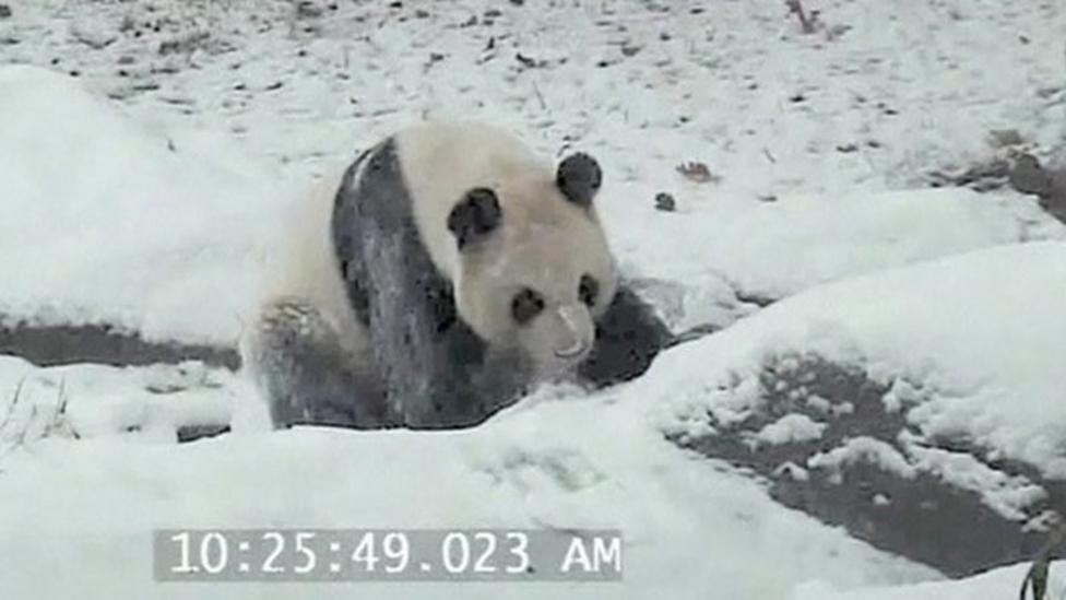 Watch: Panda has fun in the snow