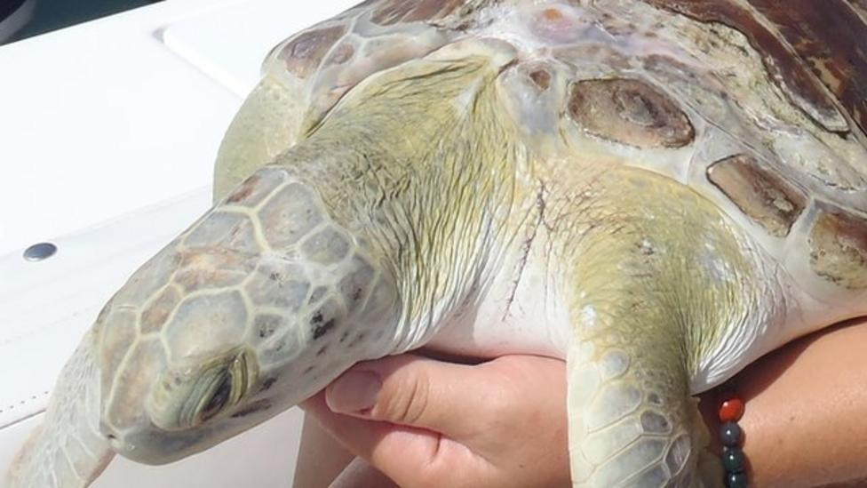 Super survival turtle back in wild