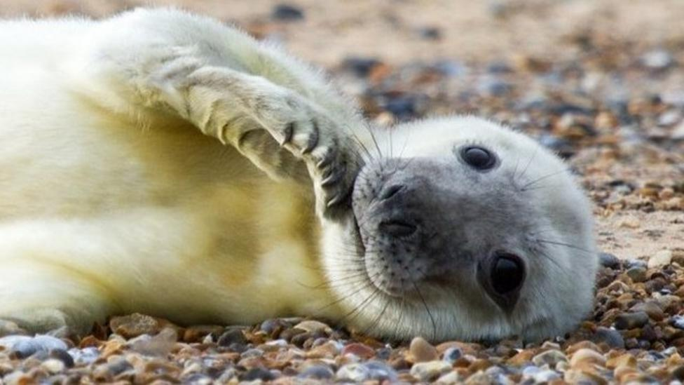 Norfolk seal pups could break record