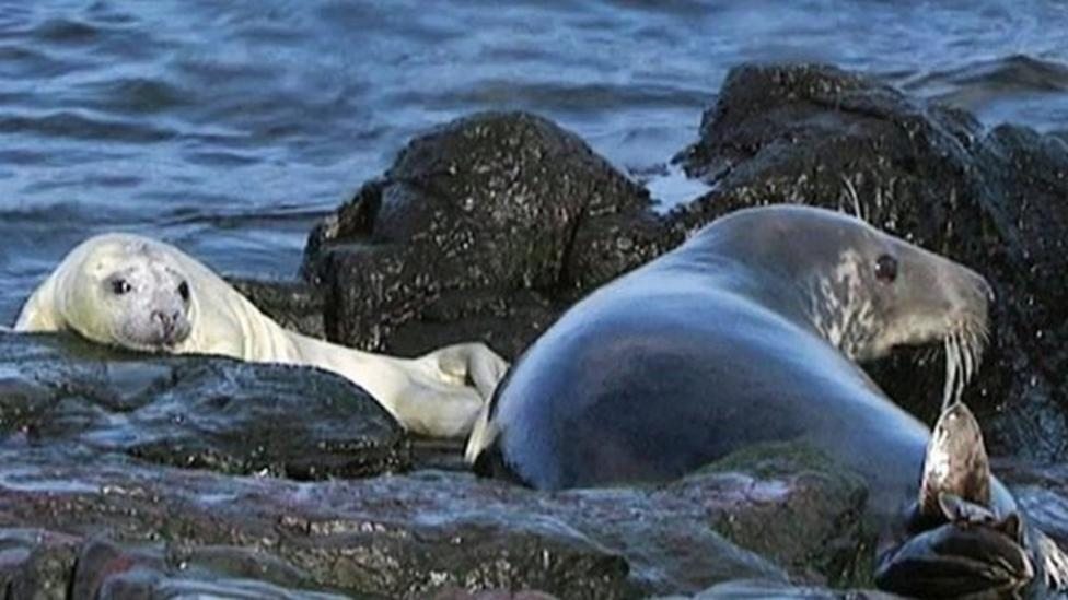 Record numbers of orphaned seals