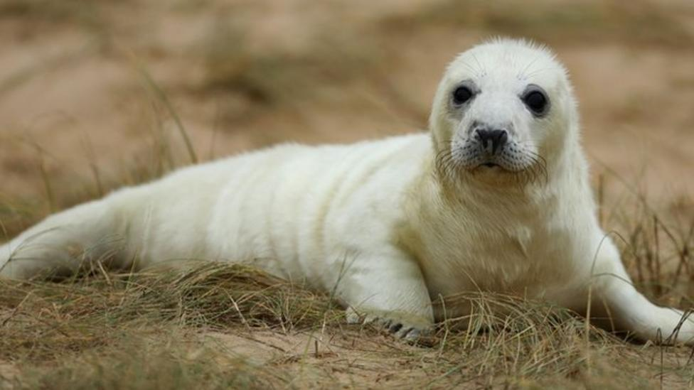 Baby seal numbers on the rise