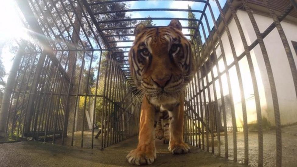 Tiger makes epic journey to new home