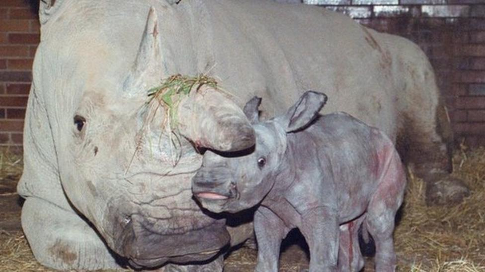 Fears for northern white rhino