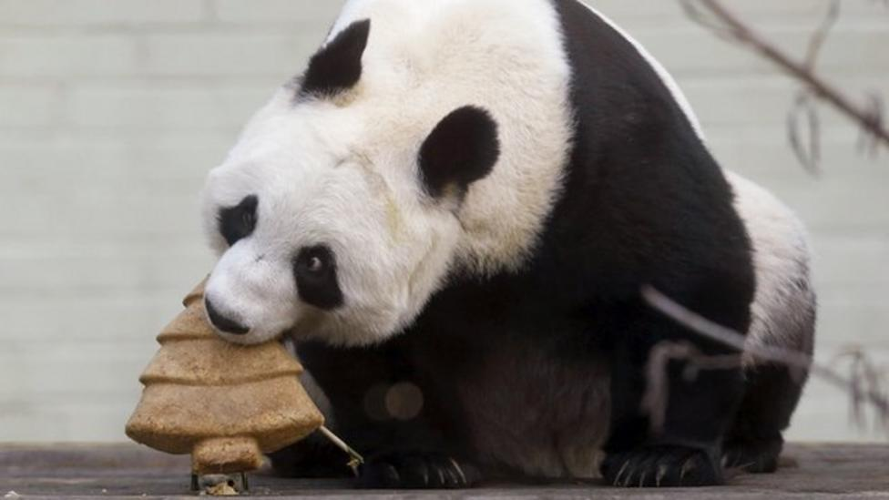 Panda enjoys Christmas cake