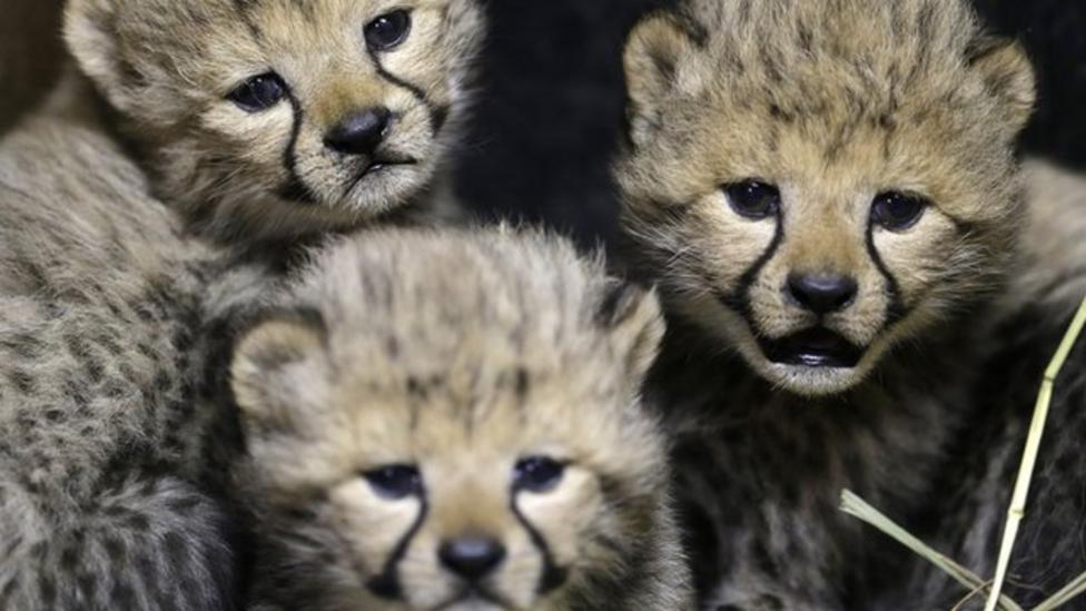 Cute cheetah cubs settling in well