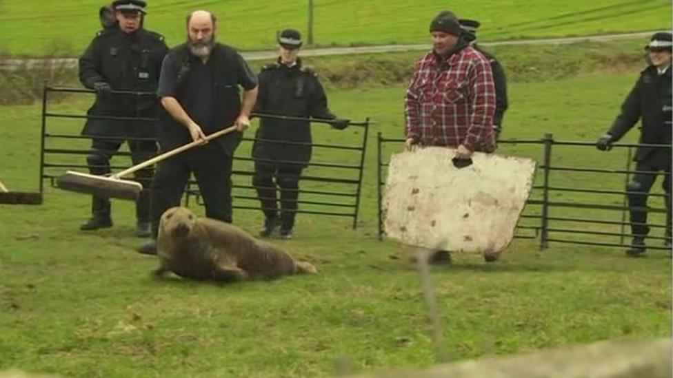 'Lost' seal rescued from field