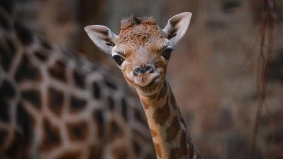 Rare baby giraffe born in the UK