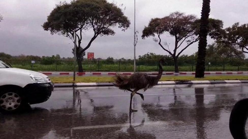 Escaped emu runs down Israel road
