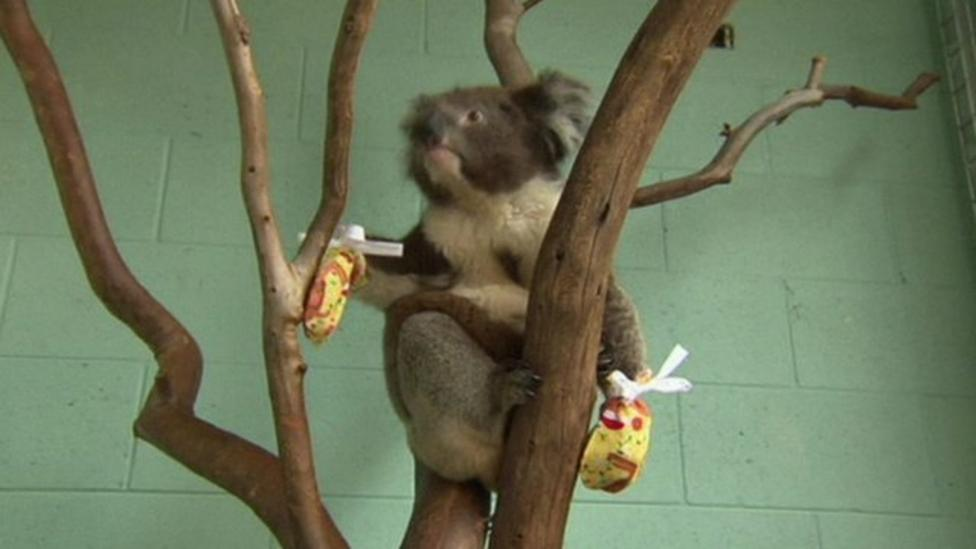 Koalas given mittens for injured paws