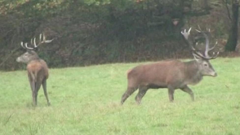 Protecting red deer in Devon