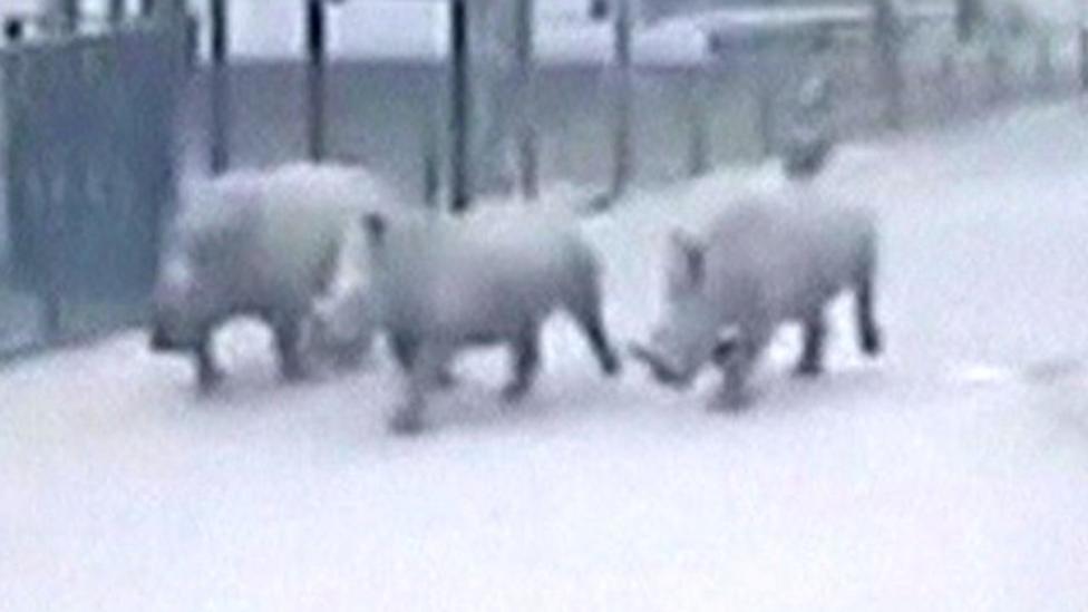 Rhinos on the run from Israel zoo