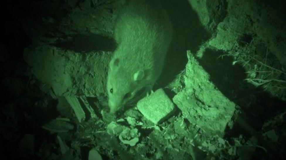 Big plan to remove rats from South Georgia