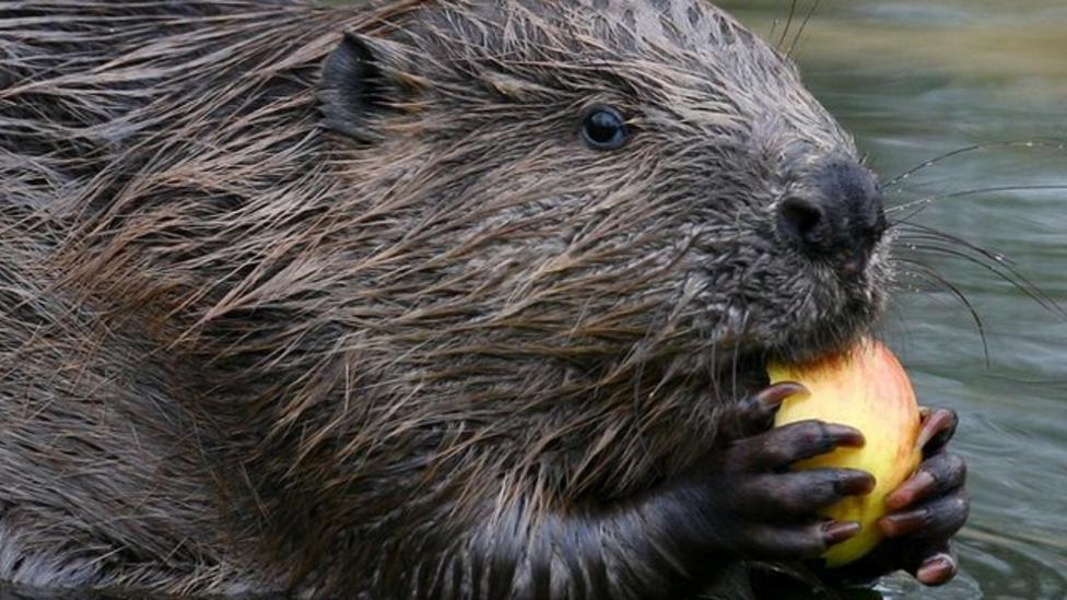 Beavers back in the wild in England