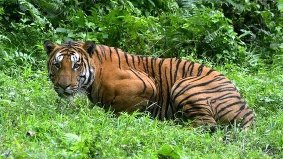 Big increase in India's tigers