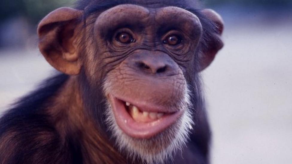 Drumming chimps help explain rhythm