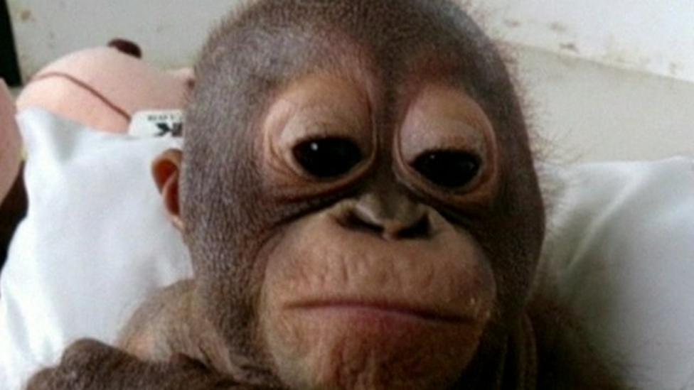 Baby orangutan recovering well