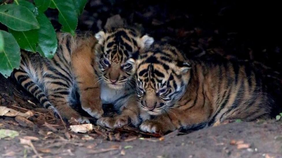 Tiger cubs important to save species