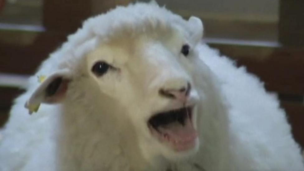 Lunar New Year: Sheep or goat?