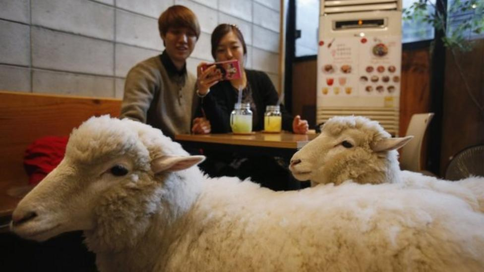 Sheep cafe opened in South Korea