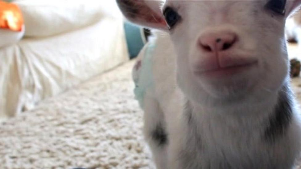 Nappy-wearing goat thinks it's a dog