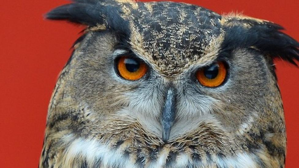 The owl that's attacking a Dutch town