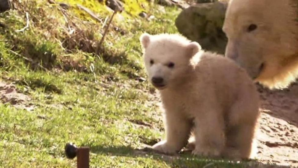Twin polar bear cubs venture outdoors