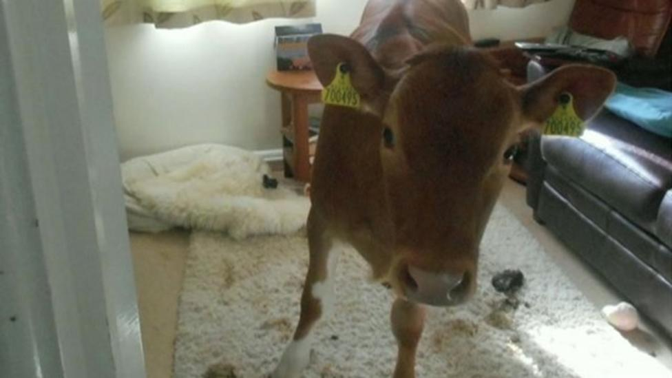 Cows invade Guernsey house