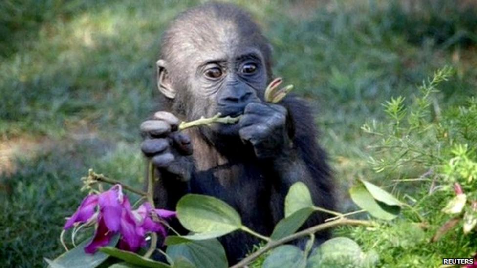 Gorilla's first birthday party