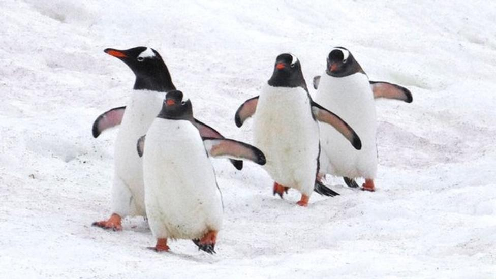 Scientists studying why penguins waddle