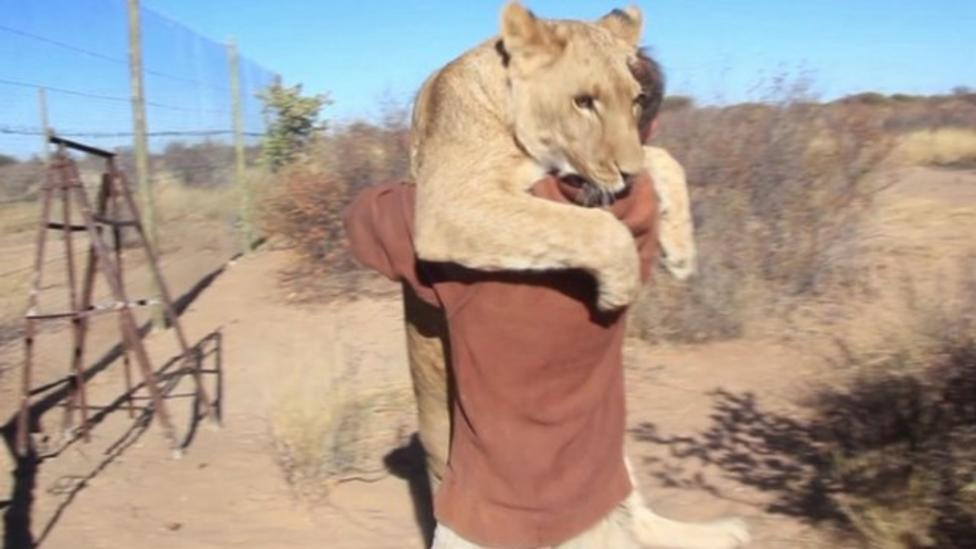 Watch the lioness who likes to hug