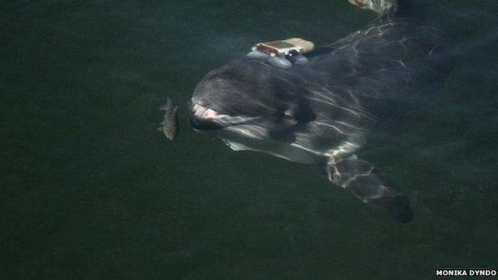 Porpoises use 'sound searchlights'