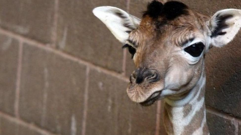 Rare giraffe baby born in Belfast