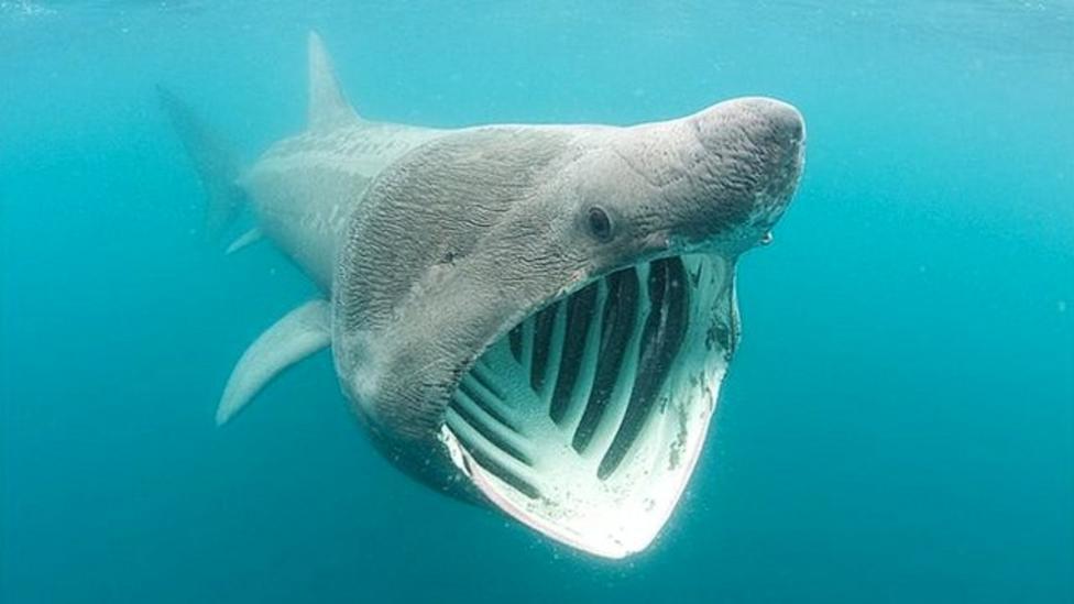 Keeping track of basking sharks