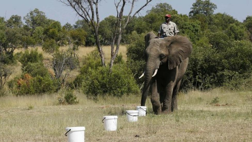 Elephants sniff out explosives