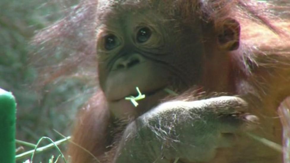 Orangutan orphan makes zoo debut