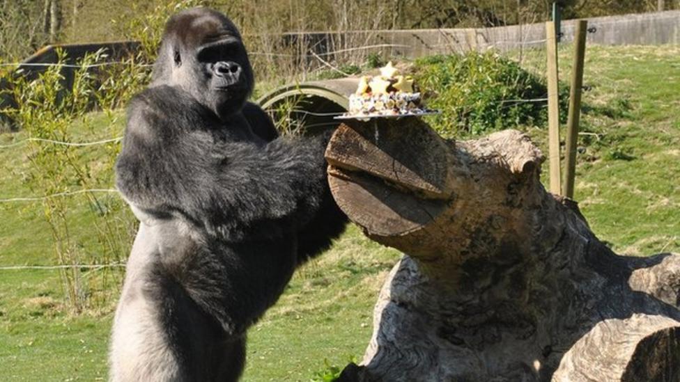 Ambam the gorilla turns 25