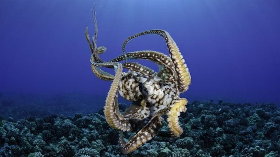 How an octopus uses its limbs to move