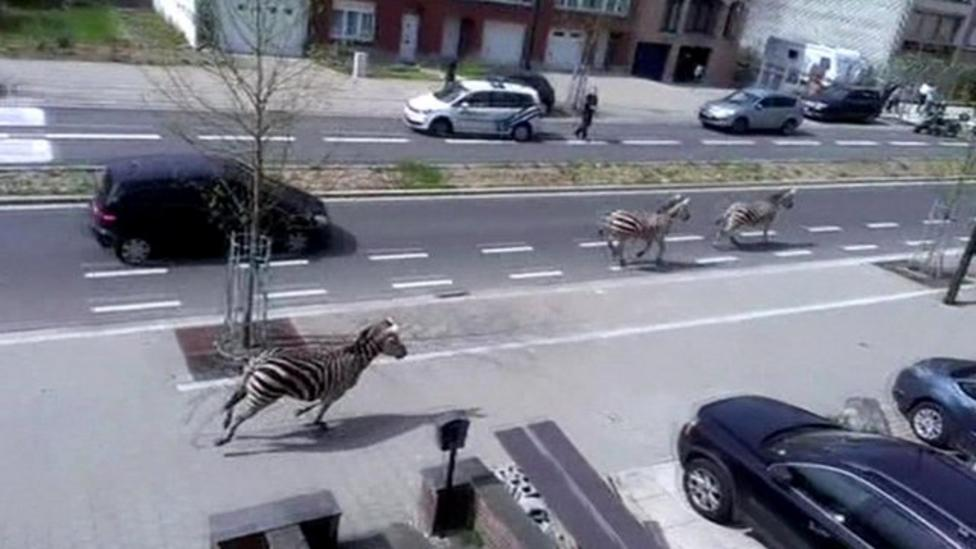 Zebras on the run in Belgium